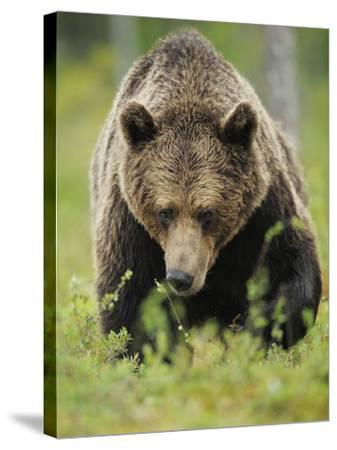 Eurasian Brown Bear (Ursus Arctos) Suomussalmi, Finland, July 2008-Widstrand-Stretched Canvas Print