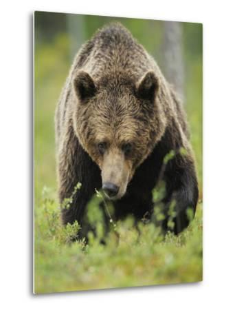 Eurasian Brown Bear (Ursus Arctos) Suomussalmi, Finland, July 2008-Widstrand-Metal Print