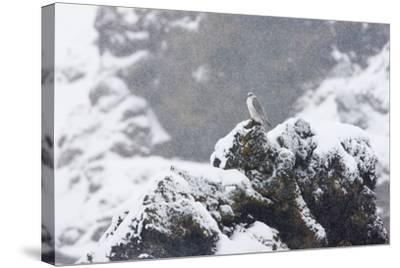 Female Gyrfalcon (Falco Rusticolus) in Snow, Myvatn, Thingeyjarsyslur, Iceland, April 2009-Bergmann-Stretched Canvas Print