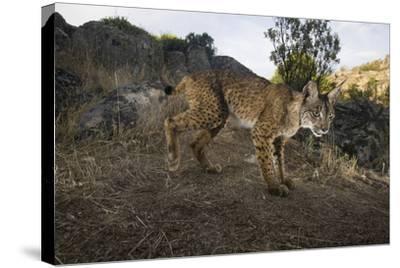 Wild Iberian Lynx (Lynx Pardinus) Male, Sierra De Andújar Np, Spain, Critically Endangered-Oxford-Stretched Canvas Print
