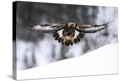 Golden Eagle (Aquila Chrysaetos) in Flight over Snow, Flatanger, Norway, November 2008-Widstrand-Stretched Canvas Print