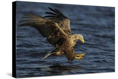 White Tailed Sea Eagle Hunting, North Atlantic, Flatanger, Nord-Tr?ndelag, Norway, August-Widstrand-Stretched Canvas Print