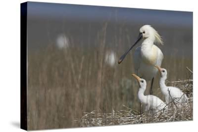 Spoonbill (Platalea Leucorodia) at Nest with Two Chicks, Texel, Netherlands, May 2009- Peltomäki-Stretched Canvas Print