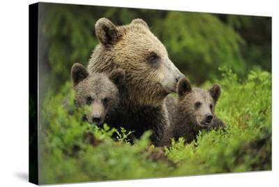 Eurasian Brown Bear (Ursus Arctos) with Two Cubs, Suomussalmi, Finland, July 2008-Widstrand-Stretched Canvas Print