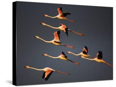 Greater Flamingos (Phoenicopterus Roseus) in Flight, Camargue, France, April 2009-Allofs-Stretched Canvas Print