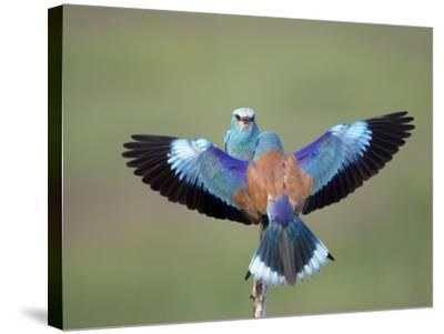 European Roller (Coracias Garrulus) Pair, Display, Pusztaszer, Hungary, May 2008-Varesvuo-Stretched Canvas Print