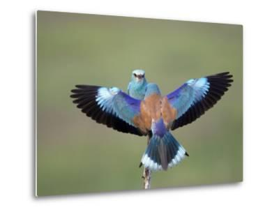 European Roller (Coracias Garrulus) Pair, Display, Pusztaszer, Hungary, May 2008-Varesvuo-Metal Print