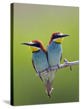 European Bee-Eater (Merops Apiaster) Pair Perched, Pusztaszer, Hungary, May 2008-Varesvuo-Stretched Canvas Print