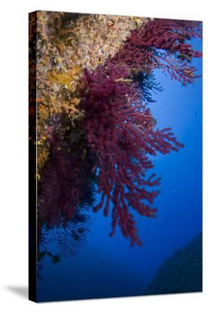 Gorgonian Coral on Rock Face Covered with Yellow Encrusting Anemones, Sponges and Corals, Corsica- Pitkin-Stretched Canvas Print