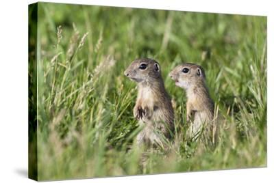 Two Young European Sousliks (Spermophilus Citellus) Alert, Eastern Slovakia, Europe, June 2009-Wothe-Stretched Canvas Print
