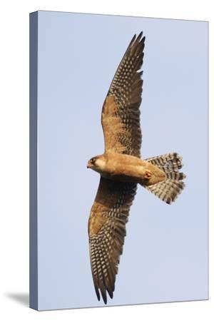 Red Footed Falcon (Falco Vespertinus) in Flight, Danube Delta, Romania, May 2009-Presti-Stretched Canvas Print