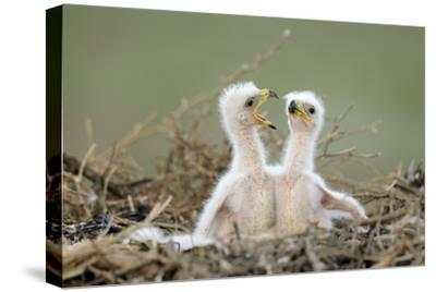 Steppe Eagle (Aquila Nipalensis) Chicks, Cherniye Zemli Nature Reserve, Kalmykia, Russia, May- Shpilenok-Stretched Canvas Print