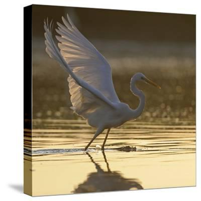 Great Egret (Ardea Alba) Landing on Water, Elbe Biosphere Reserve, Lower Saxony, Germany-Damschen-Stretched Canvas Print