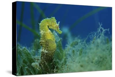 Short Snouted Seahorse (Hippocampus Hippocampus) Malta, Mediteranean, June 2009-Zankl-Stretched Canvas Print