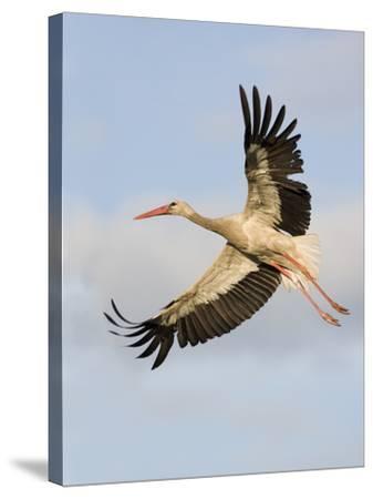 White Stork (Ciconia Ciconia) in Flight, Rusne, Nemunas Regional Park, Lithuania, June 2009-Hamblin-Stretched Canvas Print