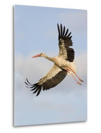 White Stork (Ciconia Ciconia) in Flight, Rusne, Nemunas Regional Park, Lithuania, June 2009-Hamblin-Metal Print