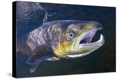 Atlantic Salmon (Salmo Salar) Male, River Orkla, Norway, September 2008-Lundgren-Stretched Canvas Print