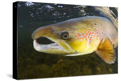 Atlantic Salmon (Salmo Salar) Male, River Orkla, Norway, September 2008-Lundgren-Stretched Canvas Print
