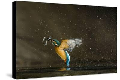 Kingfisher (Alcedo Atthis) Flying Out of Water Carrying Fish, Balatonfuzfo, Hungary, January 2009-Nov?k-Stretched Canvas Print