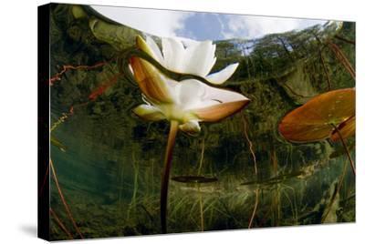 European White Water Lily (Nymphaea Alba) Flower, Bohuslän, Sweden-Lundgren-Stretched Canvas Print