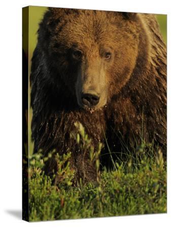 European Brown Bear (Ursus Arctos) Kuhmo, Finland, July 2009-Widstrand-Stretched Canvas Print