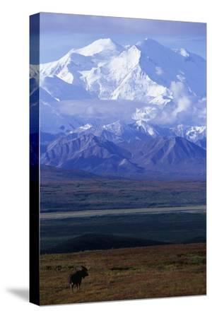 Moose on Tundra Below Mt. Mckinley in Alaska-Paul Souders-Stretched Canvas Print