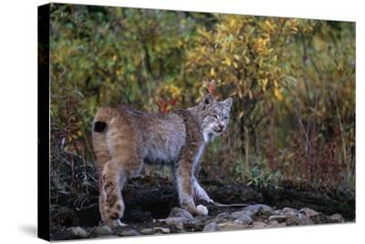 Lynx Near Toklat River in Alaska-Paul Souders-Stretched Canvas Print