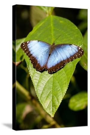 Blue Morpho Butterfly, Costa Rica-Paul Souders-Stretched Canvas Print