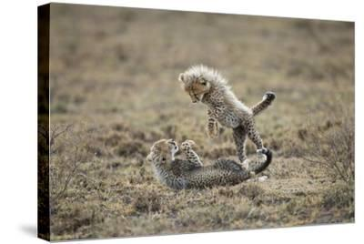 Cheetah Cubs Playing at Ngorongoro Conservation Area, Tanzania-Paul Souders-Stretched Canvas Print