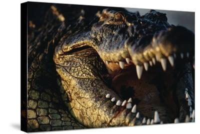 Nile Crocodile with Open Mouth-Paul Souders-Stretched Canvas Print