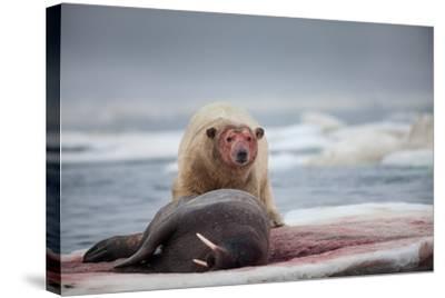 Polar Bear Feeding on Walrus, Hudson Bay, Nunavut, Canada-Paul Souders-Stretched Canvas Print