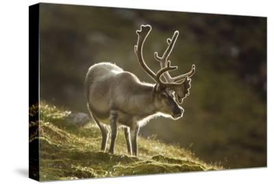 Reindeer, Svalbard, Norway-Paul Souders-Stretched Canvas Print