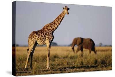 Giraffe and Elephant on the Savanna-Paul Souders-Stretched Canvas Print