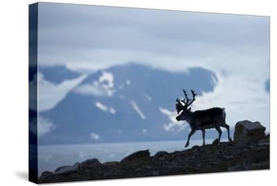 Reindeer, Svalbard, Norway-Paul Souders-Stretched Canvas Print