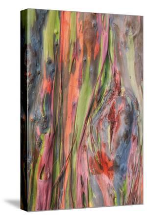 Rainbow Eucalyptus Detail, Hawaii-Vincent James-Stretched Canvas Print