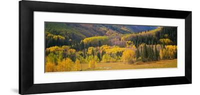 Aspen Trees in a Field, Telluride, San Miguel County, Colorado, USA--Framed Photographic Print