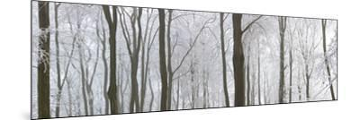 Snow Covered Trees in a Forest, Wotton, Gloucester, Gloucestershire, England--Mounted Photographic Print