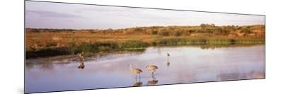 Sandhill Cranes (Grus Canadensis) in a Pond at a Celery Field, Sarasota, Sarasota County--Mounted Photographic Print