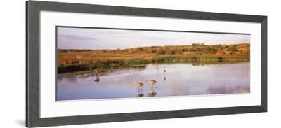 Sandhill Cranes (Grus Canadensis) in a Pond at a Celery Field, Sarasota, Sarasota County--Framed Photographic Print