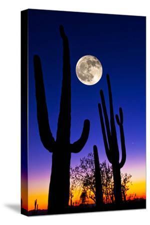 Moon over Saguaro Cactus (Carnegiea Gigantea), Tucson, Pima County, Arizona, USA--Stretched Canvas Print