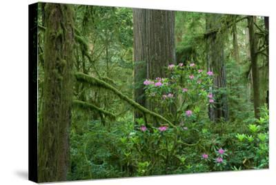 Redwood Trees and Rhododendron Flowers in a Forest, Jedediah Smith Redwoods State Park--Stretched Canvas Print