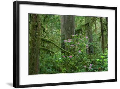 Redwood Trees and Rhododendron Flowers in a Forest, Jedediah Smith Redwoods State Park--Framed Photographic Print