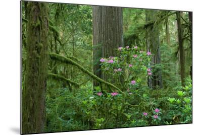 Redwood Trees and Rhododendron Flowers in a Forest, Jedediah Smith Redwoods State Park--Mounted Photographic Print