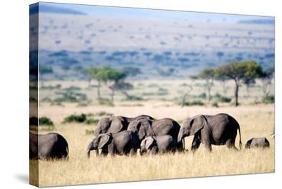 Herd of African Elephants (Loxodonta Africana) in Plains, Masai Mara National Reserve, Kenya--Stretched Canvas Print