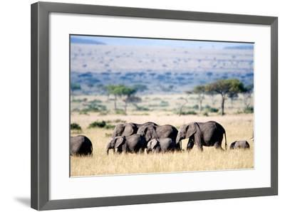 Herd of African Elephants (Loxodonta Africana) in Plains, Masai Mara National Reserve, Kenya--Framed Photographic Print