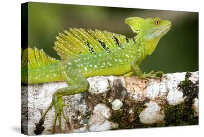 Close-Up of a Plumed Basilisk (Basiliscus Plumifrons) on a Branch, Cano Negro, Costa Rica--Stretched Canvas Print