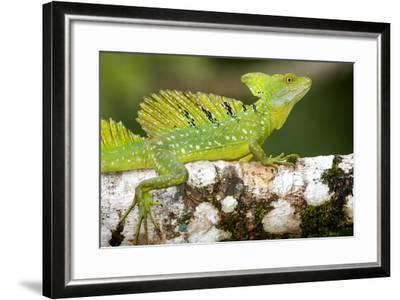 Close-Up of a Plumed Basilisk (Basiliscus Plumifrons) on a Branch, Cano Negro, Costa Rica--Framed Photographic Print