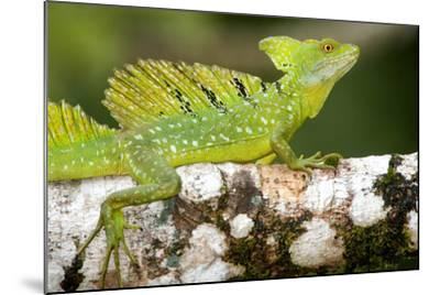 Close-Up of a Plumed Basilisk (Basiliscus Plumifrons) on a Branch, Cano Negro, Costa Rica--Mounted Photographic Print