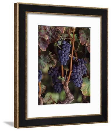 Cabernet Sauvignon Grapes in Vineyard, Wine Country, California, USA--Framed Photographic Print