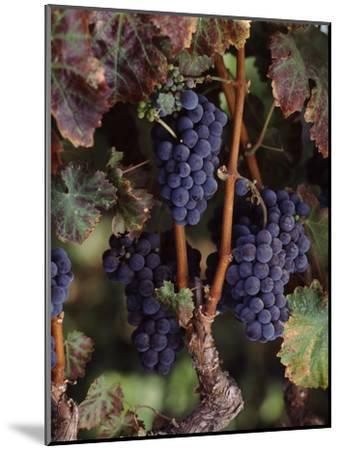 Cabernet Sauvignon Grapes in Vineyard, Wine Country, California, USA--Mounted Photographic Print